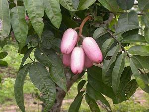 afrikanskaya-sliva